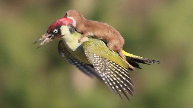 Woodpecker-flying-with-weasel-on-its-back-01.jpg